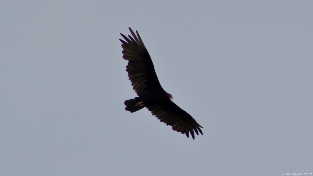 Turkey Vulture 1